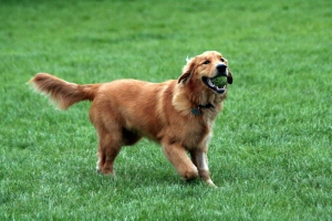 Golden_Retriever_with_tennis_ball